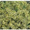 2.87-Quart Emerald and Gold Euonymus Accent Shrub (L9280)