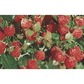 2.87-Quart Raspberry Small Fruit (L5813)