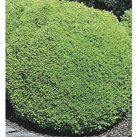 7.15-Gallon Green Mountain Boxwood Foundation/Hedge Shrub (L7204)