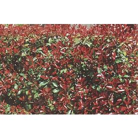 3.58-Gallon White Red Tip Photinia Screening Shrub (L3049)