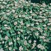 2.58-Gallon White David Viburnum Flowering Shrub (L4149)