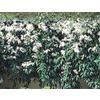 2.7-Quart Evergreen Clematis (L4690)