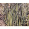  2.25-Gallon Shin Dagger Agave (LB21165)