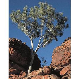6-in Eucalyptus (L14900)