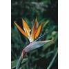 1.25-Quart Bird of Paradise (L3068)