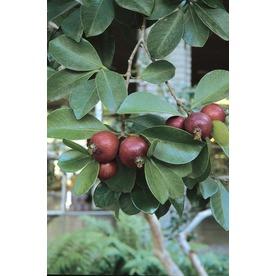 1.5-Gallon Strawberry Guava Small Fruit (L22751)