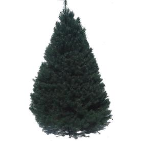 6-ft to 7-ft Fresh-Cut Scotch Pine Christmas Tree