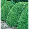 9.64-Gallon Common Boxwood Foundation/Hedge Shrub (L2572)