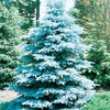 19.09-Gallon HooPSI Blue Spruce (L4101)