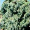 9.64-Gallon Weeping White Pine Feature Shrub (L14444)