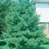 9.64-Gallon Eastern White Pine (L3619)