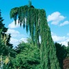 12.7-Gallon Weeping Sequoia (L14274)