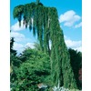 19.09 Gallon(S) Weeping Sequoia (L14274)