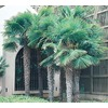 28.5-Gallon Chinese Windmill Palm (L8803)