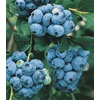 1.25-Quart Blueberry Small Fruit (L6021)
