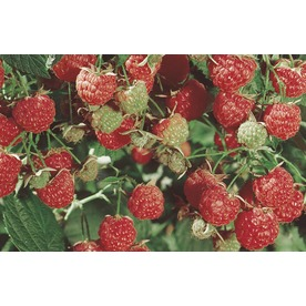 1.25-Quart Raspberry Small Fruit (L5813)
