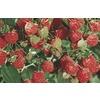 1.25-Quart Raspberry Small Fruit (L5813)