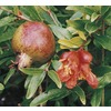 1.14-Gallon Pomegranate Tree (L7402)