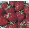 1.25-Quart Strawberry Small Fruit (L00574)