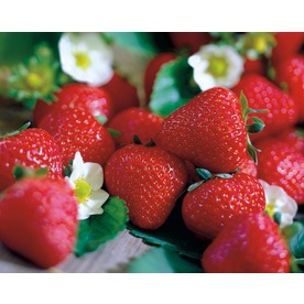 10-Pack All Star Strawberry Small Plant (LB22450)