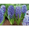  Blue Jacket Hyacinth Bulb