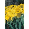  California Daffodil Bulb