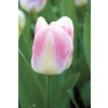  Sweety Tulip Bulb