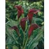 3-Pack Schwarzwalder Calla Lily (LW02547)