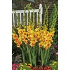  Spotlight Gladiolus Bulb