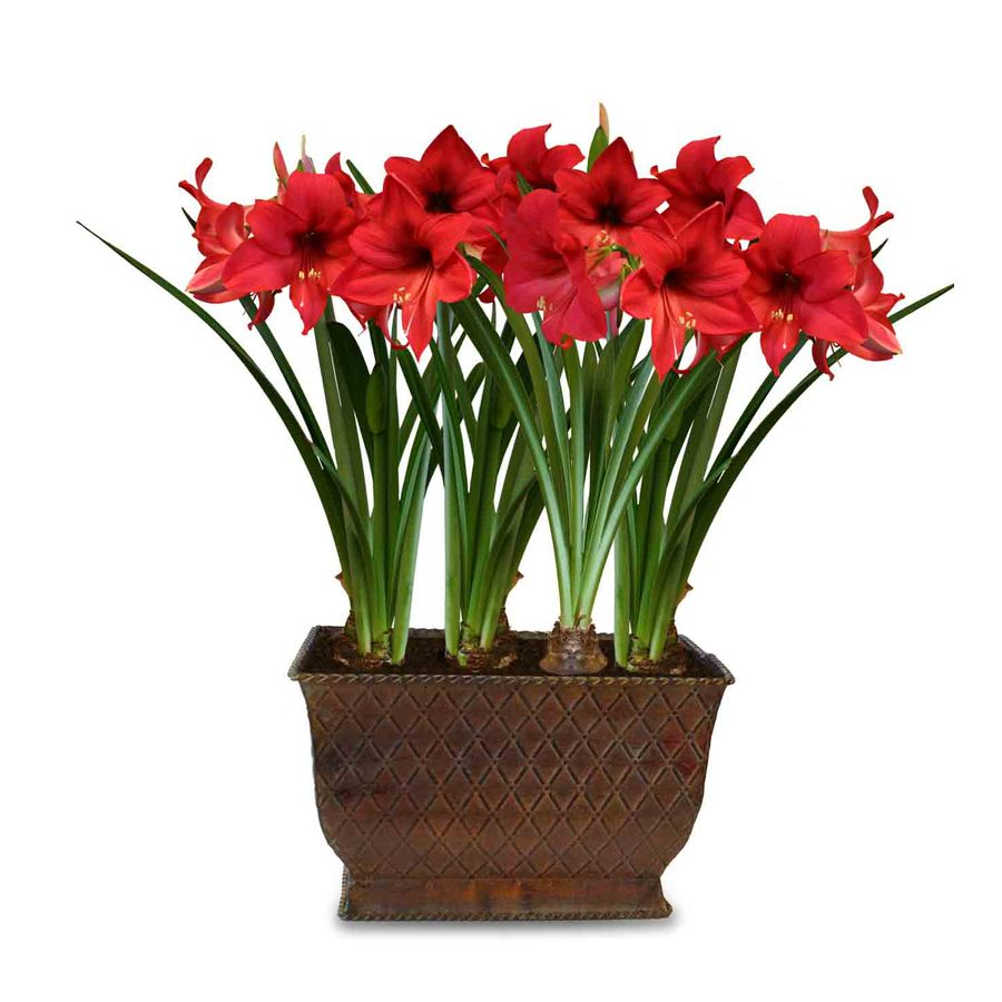 Shop 4 pack donau miniature amaryllis bulbs at for Amaryllis miniatures colombien