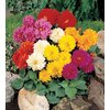 12-Pack Unwin Dahlias Bulbs
