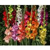 60-Pack Gladioli (Mixed) Bulbs