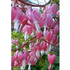3-Pack Bleeding Hearts Bulbs