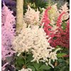 8-Pack False Spirea Bulbs