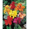9-Pack Tall Cannas Mixed Bulbs