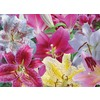 10-Pack Oriental Lilies Mixed Bulbs