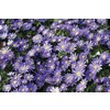 25-Pack Wind Flowers Bulbs