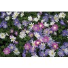  15-Pack Anemone Blanda Mixed Bulbs