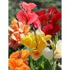 12-Pack Cannas Bulbs
