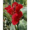 3-Pack Red King Humbert Canna Bulbs