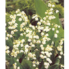 5-Pack Lily Of The Valley Bulbs
