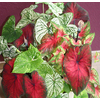 5-Pack Caladiums (Mixed) Bulbs