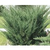 Garden Club Select 3.6-Gallon Sea Green Juniper (L3045)