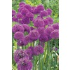 10-Pack Purple Sensation Alliums