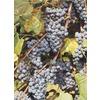 Concord Grape (L4863)