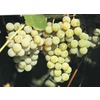  Niagara Grape (L1200)