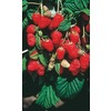  1-Pack Brandywine Raspberry (LB9498)
