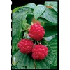 Heritage Everbearing Raspberry (LW00208)