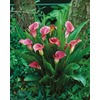 3-Pack Ruby Sensation Calla Lily (LW03293)