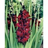  20-Pack Black Star Gladiolus